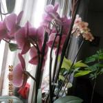 orhideele  din noiembrie 2012 si ianuarie 2013