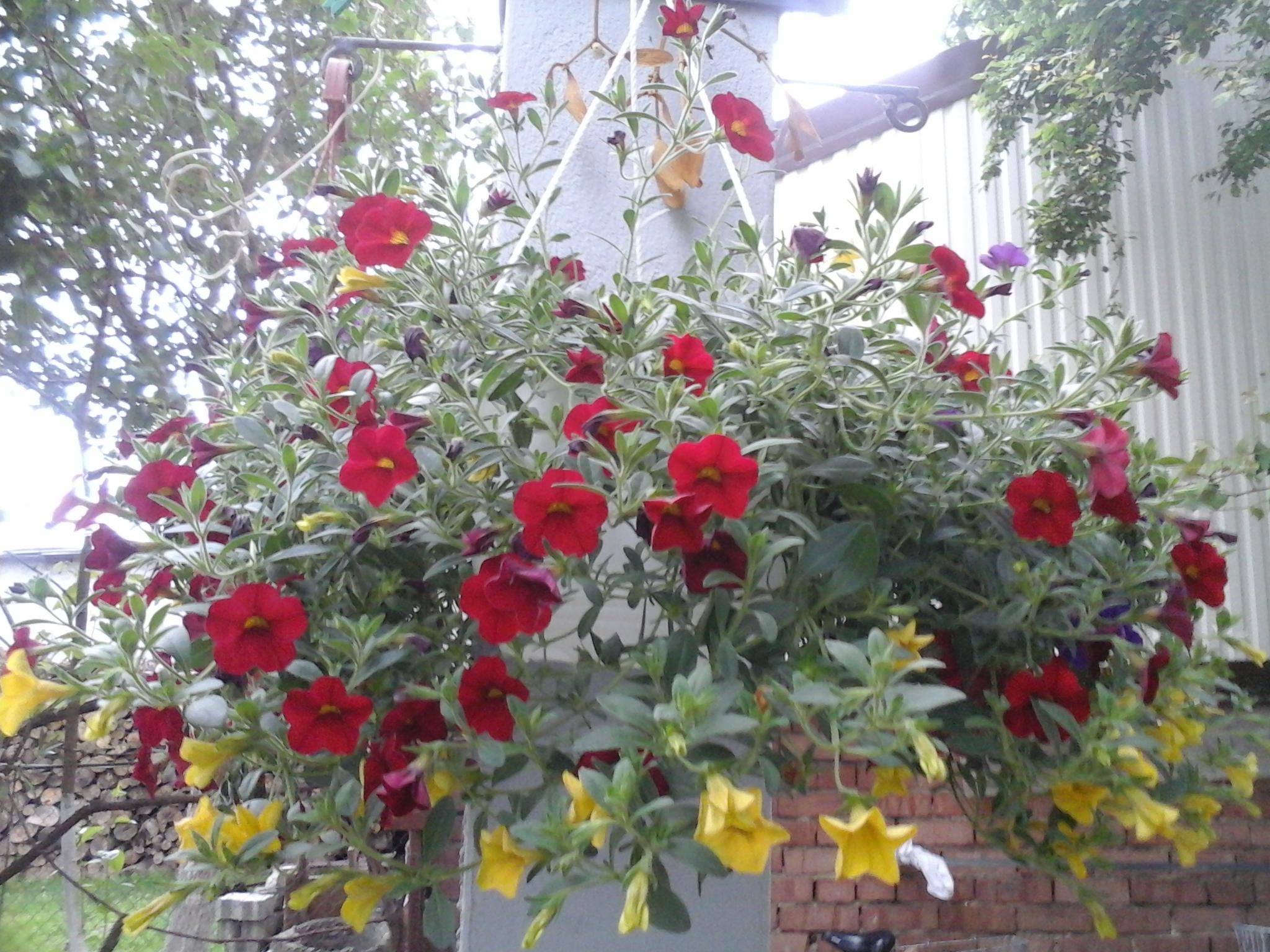 Petunia tricolora