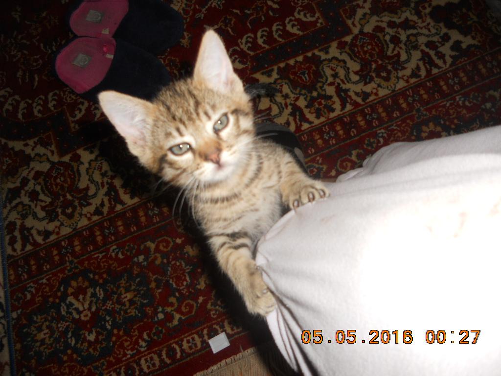 Tiger se urca pe piciorul meu