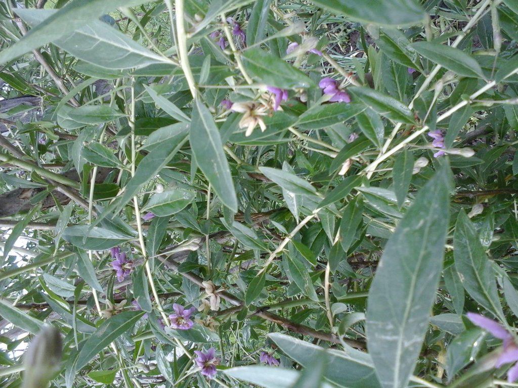 flori de goji